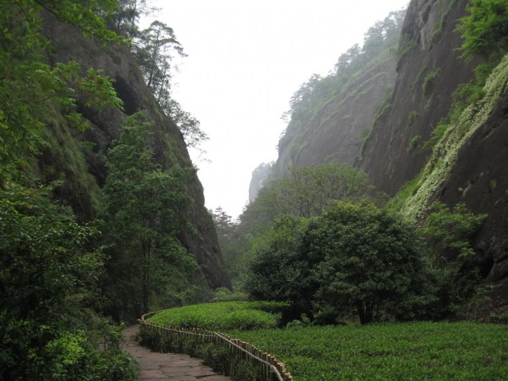 Wuyi Shan Da Hong Pao garden