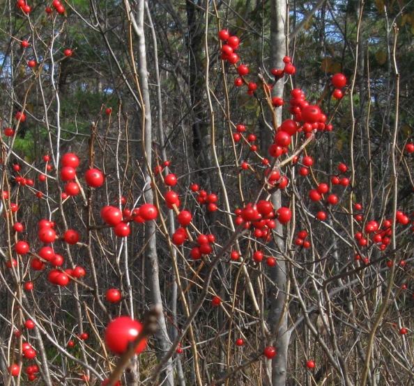 Pines red berries Oct 27 B