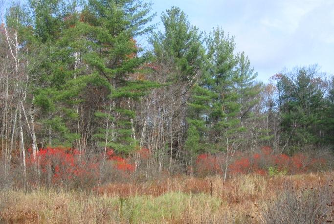 Pines red berries Oct 27